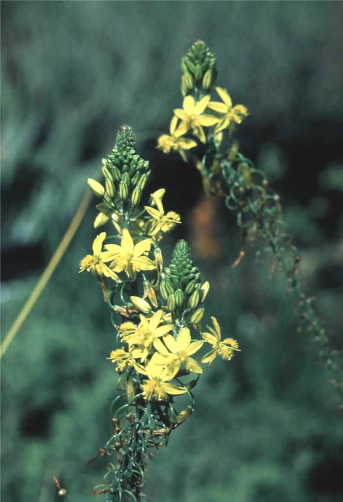 Plant photo of: Bulbine frutescens 'Yellow'