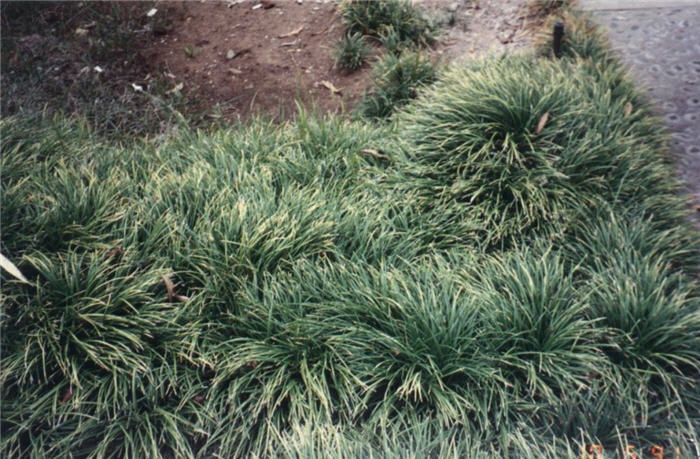 Plant photo of: Ophiopogon japonicus
