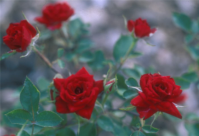 Plant photo of: Rosa 'Don Juan'