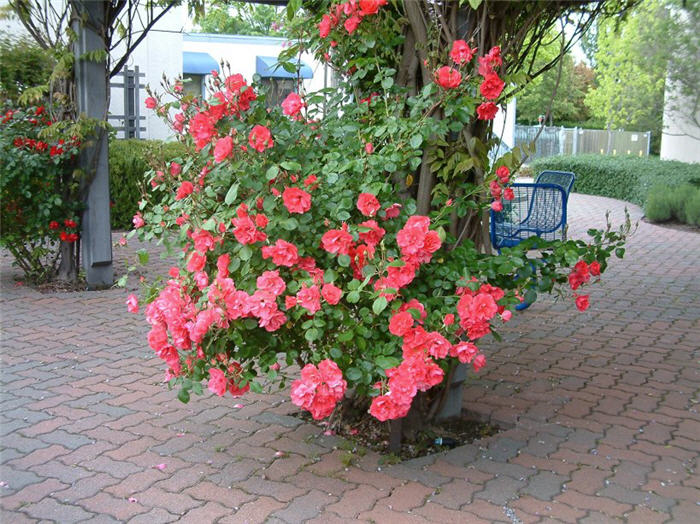 Plant photo of: Rosa Climbing varieties