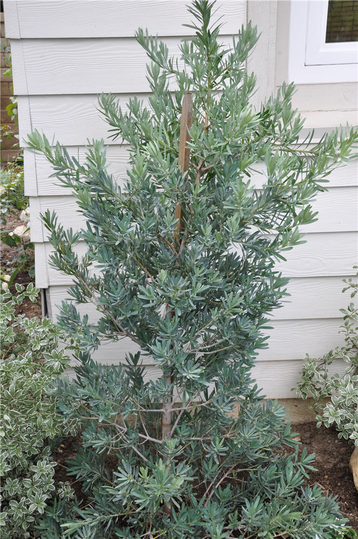 Plant photo of: Podocarpus elongatus Icee Blue