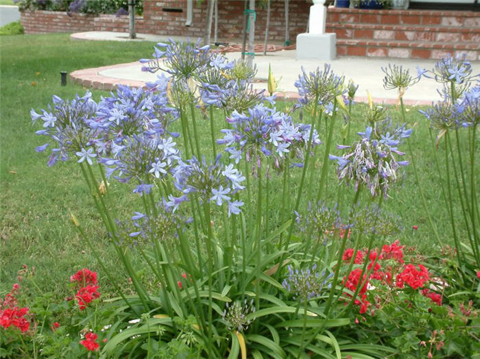 Plant photo of: Agapanthus 'Peter Pan'