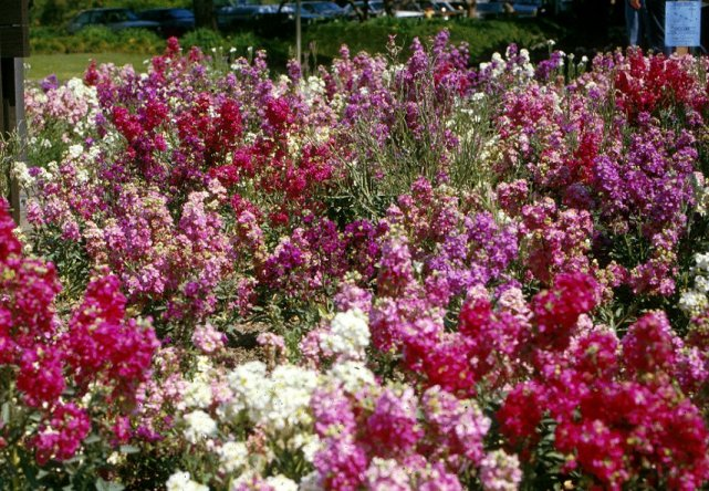 Plant photo of: Matthiola incana