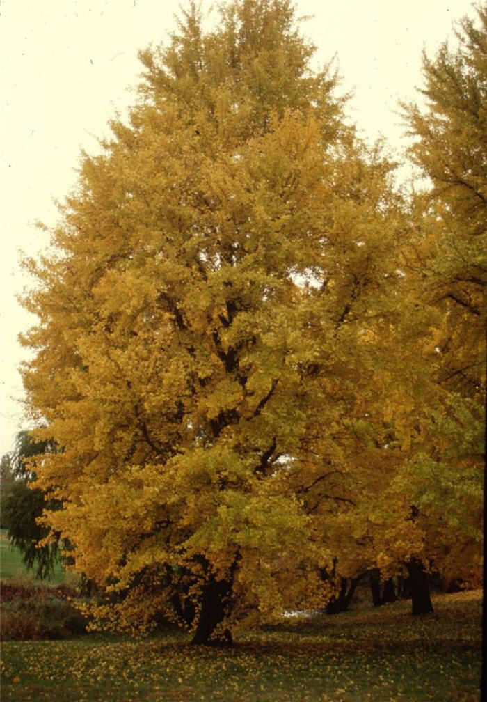 Plant photo of: Ginkgo biloba 'Autumn Gold'