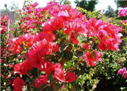 Bougainvillea 'San Diego Red'