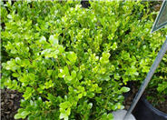 Buxus microphylla japonica