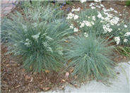 Blue Fescue, Blue Fescuegrass