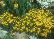 Aurinia saxatilis 'Basket of Gold'